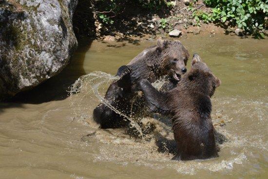 Grafenau, ألمانيا: Bears wrestling