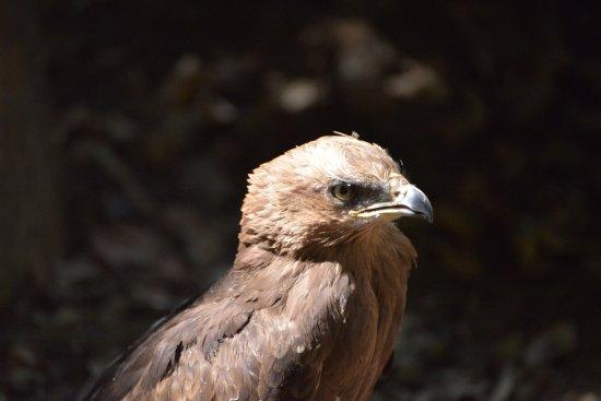 Grafenau, Duitsland: Hawk