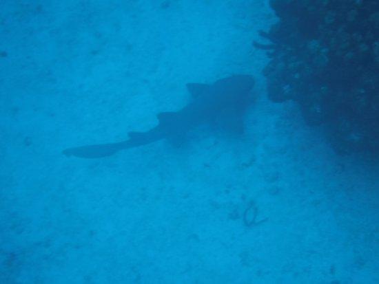จอร์จทาวน์, เกาะแกรนด์เคย์แมน: Nurse shark