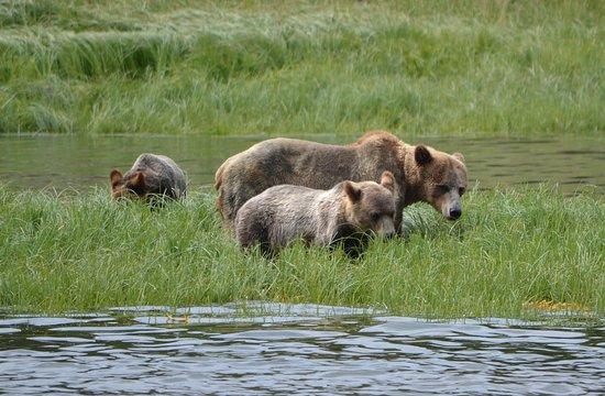 Telegraph Cove, Kanada: Three bears