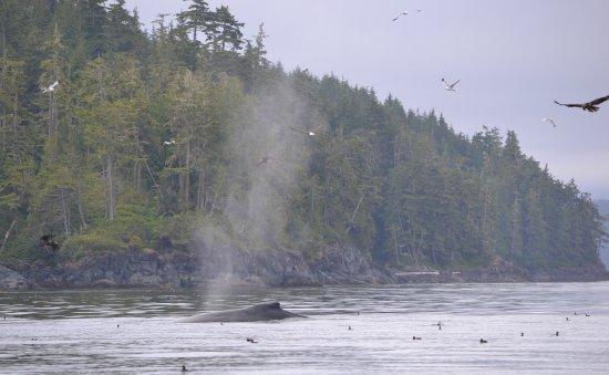 Telegraph Cove, Kanada: Birds and whale feeding
