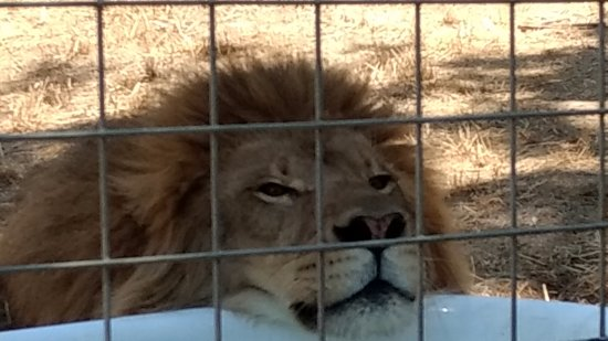 Dunlap, Californië: Titan the Lion thinks it's to damn hot!