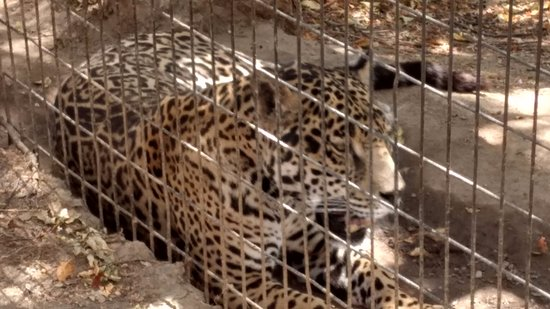 Dunlap, Californië: This jaguar can rip your head off of your neck