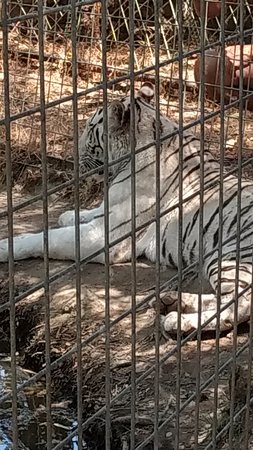 Dunlap, Californië: Diana the white tiger