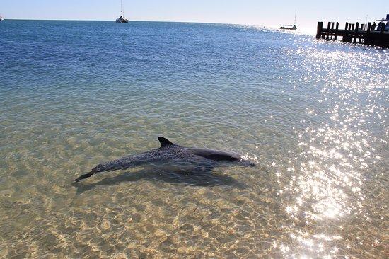 Monkey Mia, Avustralya: 3 times daily a family pod visit, who may follow you as you walk along the beach