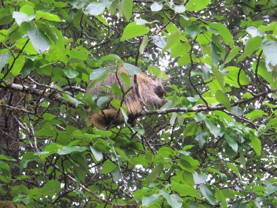 Gustavus, AK: Porcupine