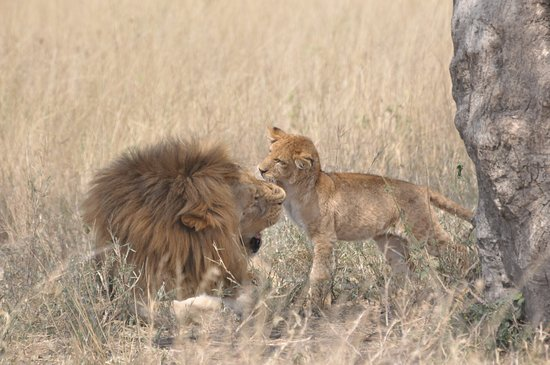 Arusha Region, Tanzania: Litet lejon busar med pappa