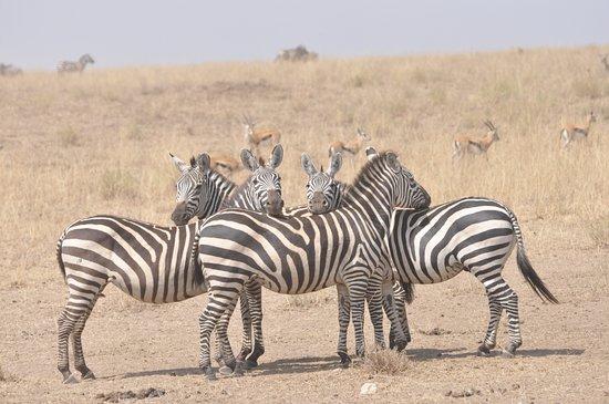 Arusha Region, Tanzania: Finns massor av zebror