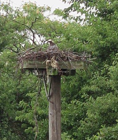 Nature Center of Cape May: The osprey nest as viewed from the top deck lookout.
