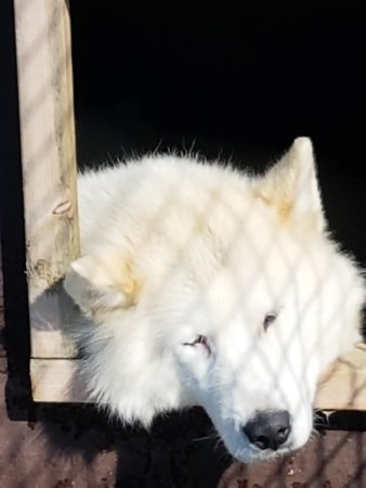 Selfoss, Iceland: Ein Kuschelbär von ganz vielen lieben Tieren beim Dogsledding Iceland.