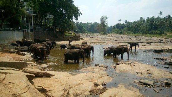 Пиннавала, Шри-Ланка: elephants posing for pics
