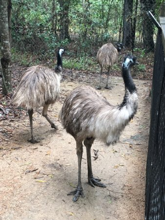 Palm Cove, Australia: Emus