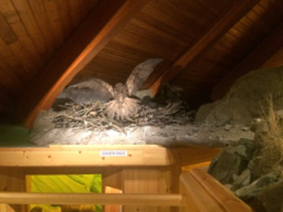Burwash Landing, Canada: A golden eagle sitting on a nest. All exhibits are labelled and provide other information.