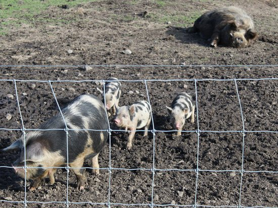 Ngongotaha, New Zealand: Month old piglets