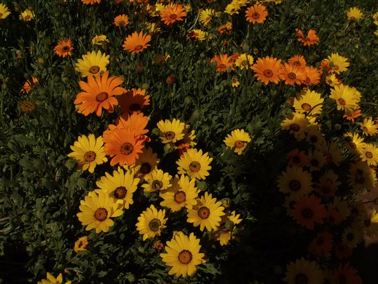 Roodepoort, South Africa: Bright African daisies.