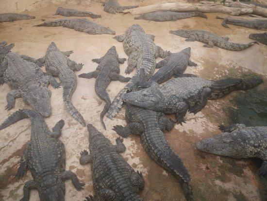 Ah Les Crococo Les Crocodiles Bild Von La Ferme Aux Crocodiles
