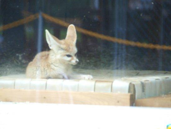 Burlington, Karolina Północna: Fennec Fox