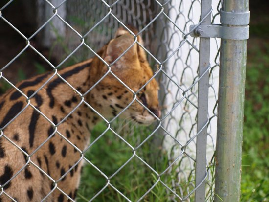 Burlington, NC: Serval