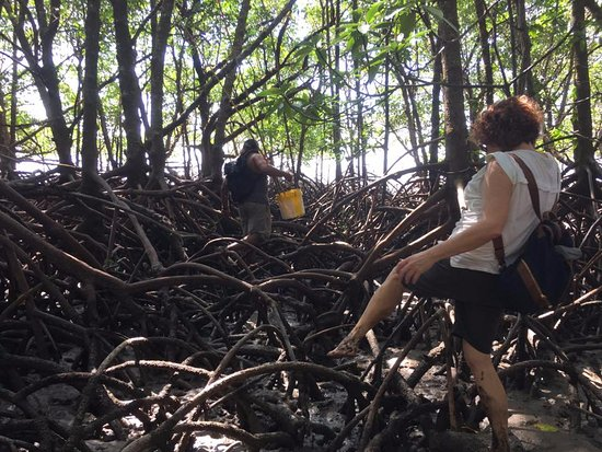 Daintree, Αυστραλία: Travelling through the mangroves