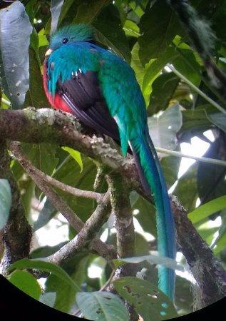 San Gerardo de Dota, Costa Rica: Male Quetzal