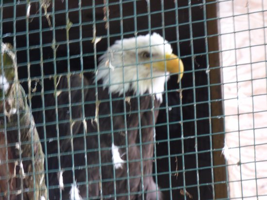 Γουίλμινγκτον, Νέα Υόρκη: We saw this bald eagle tear apart a mouse - wow