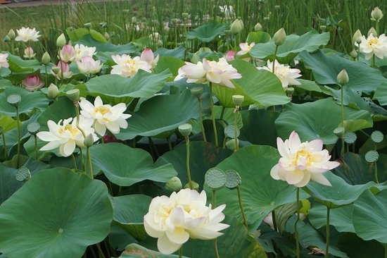 Ames, Айова: Lily Pond