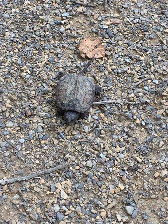 Punxsutawney, PA: Snapping Turtle