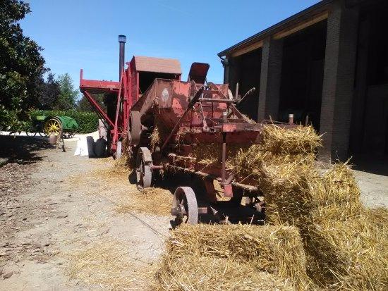 Alseno, Italy: trebbiatura del grano