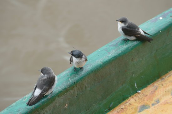 El Castillo, Nicaragua: Swallows perched on the boat below the hotel
