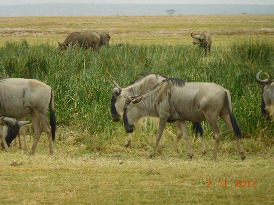 Amboseli National Park, Kenya: wildebeast