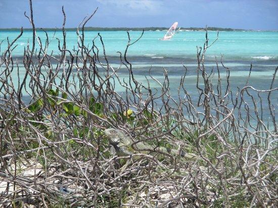 Kralendijk, Bonaire: note the iguana