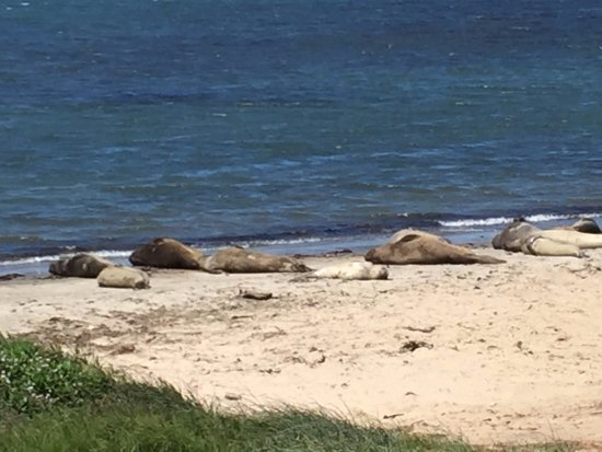 Pescadero, CA: Male elephant seals basking in the sun
