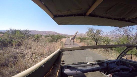Pilanesberg National Park, Republika Południowej Afryki: Giraffe