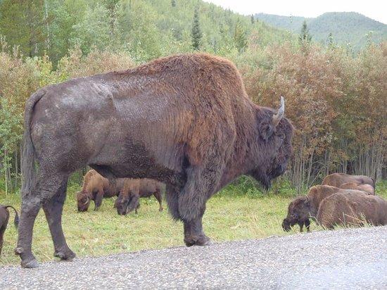 Fort Nelson, Kanada: Bison