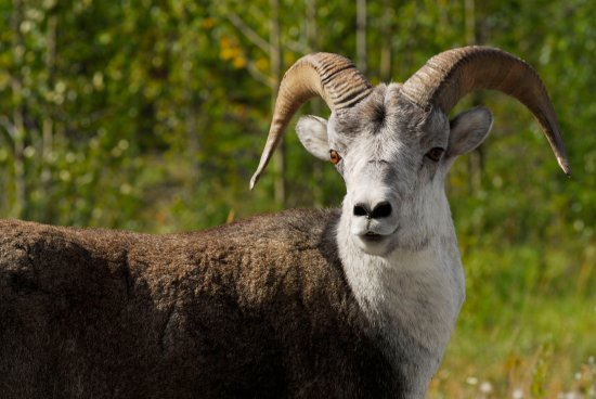 Fort Nelson, Canada: Stone Mountain Sheep