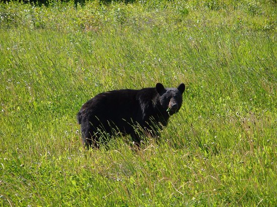 Fort Nelson, Canada : Black Bear