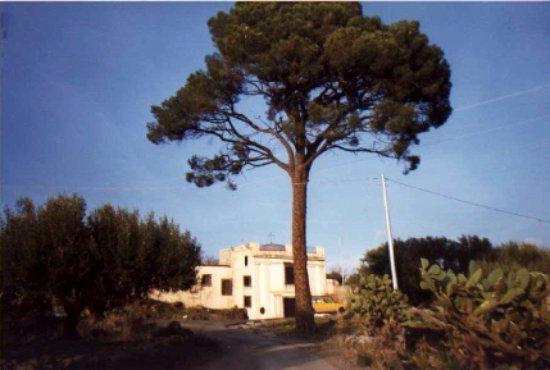Biancavilla, Italia: Il maestoso pino davanti alla chiesa