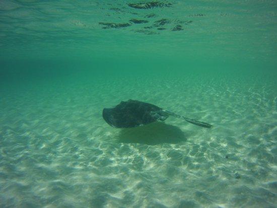 Gibbs Cay: Another ray
