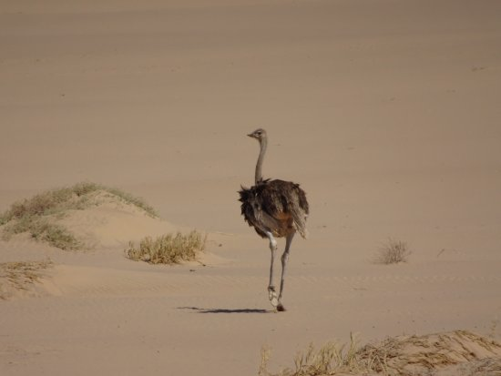 ‪‪Skeleton Coast Park‬, ناميبيا: Lonesome ostrich‬