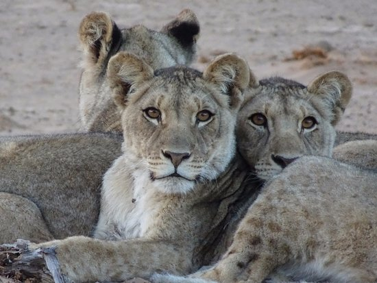 ‪‪Skeleton Coast Park‬, ناميبيا: Three orphaned cubs‬