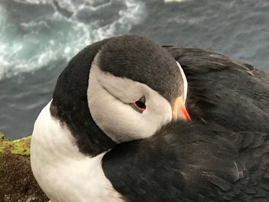 Latrabjarg, Islândia: Super gaaf om deze papegaaiduikers van zo dichtbij mee te maken!