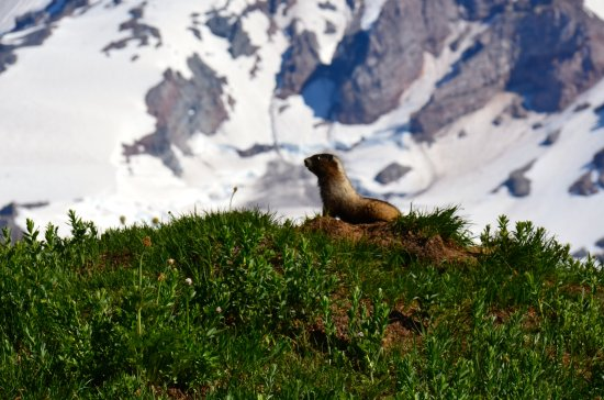 Mount Rainier: A marmot whistles for his mate on the slopes of Mt. Rainier