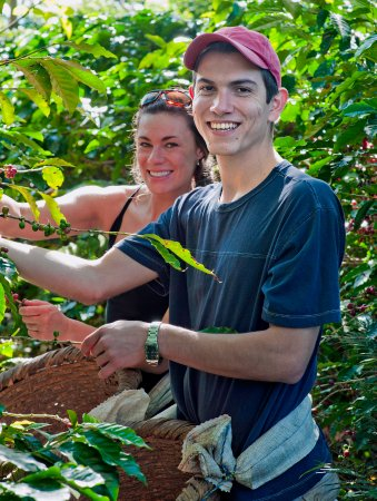 Santa Barbara, Costa Rica: Guests helping to pick coffee during the harvest season in the organic shade grown coffee planta
