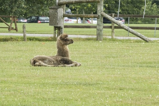 Burford, UK: The baby camel