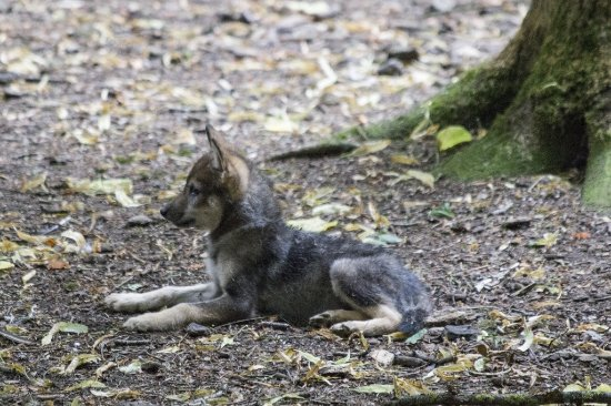 Burford, UK: One of the little wolf Cubs