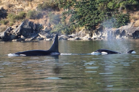 Friday Harbor, WA: Two of the 5 we saw on our tour