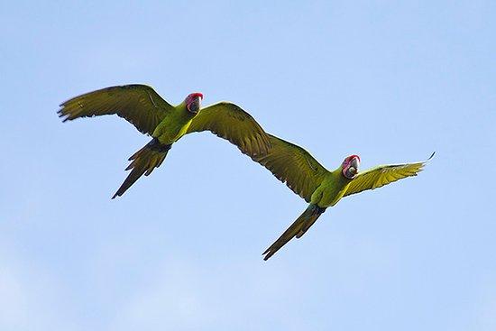 Boca Tapada, Коста-Рика: Great Green Macaws