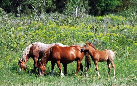 Dickinson, ND: Many bands of wild horses in TRNP