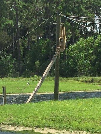 Loxahatchee, FL: Gibbons