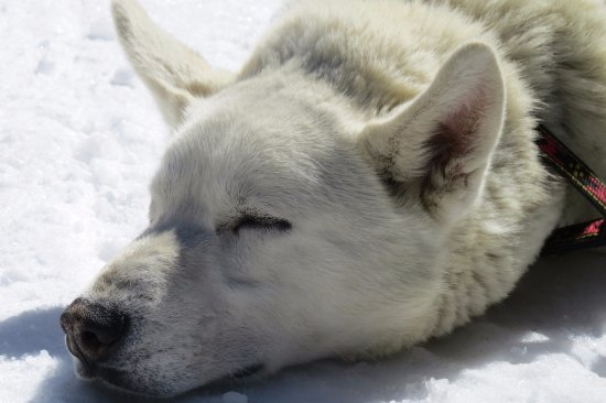 Snowy Owl Sled Dog Tours: Sleep time!